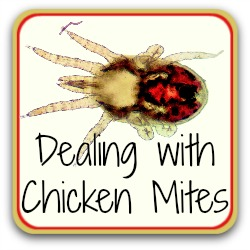 Treating red mites in the chicken coop.
