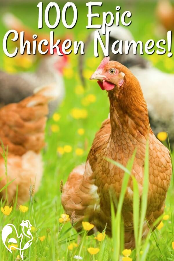 So you've got some new chickens and now you need to find names for them? No problem! #backyardchickens #chickennames #raisinghappychickens #chickencare