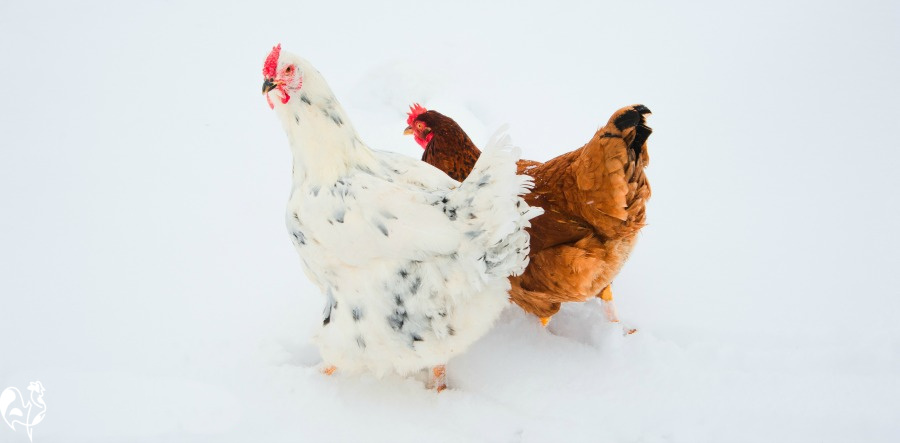 Backyard chickens and frostbite: how to spot, treat and prevent it. #backyardchickens #frostbiteinchickens #chickensinwinter #raisinghappychickens