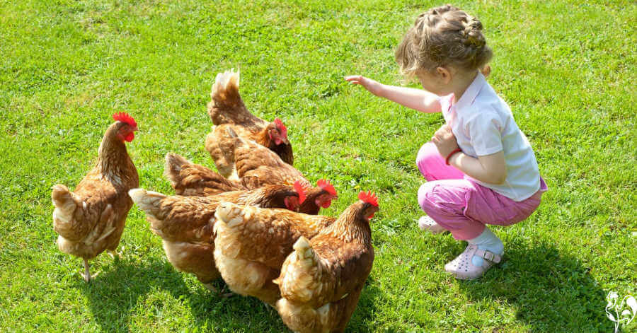 Little girl happily feeding chickens