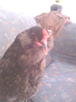 Chirpy, the one of a kind chicken!!