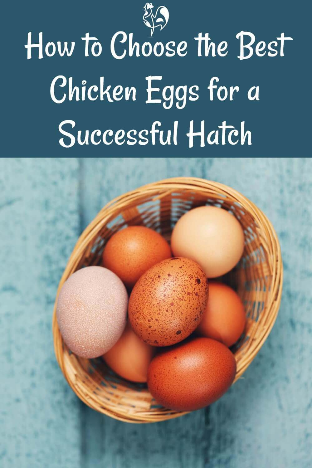 Pin It!: Choosing fertile chicken eggs for hatching.
