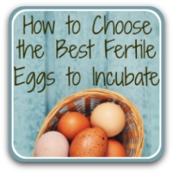 How to choose hatching eggs - link.