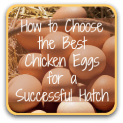 How to select the best possible chicken eggs for incubating and hatching.