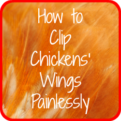 Clipping chickens' wings - link.
