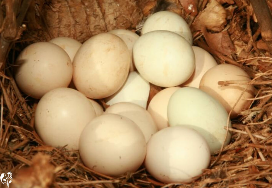 A clutch of chicken eggs