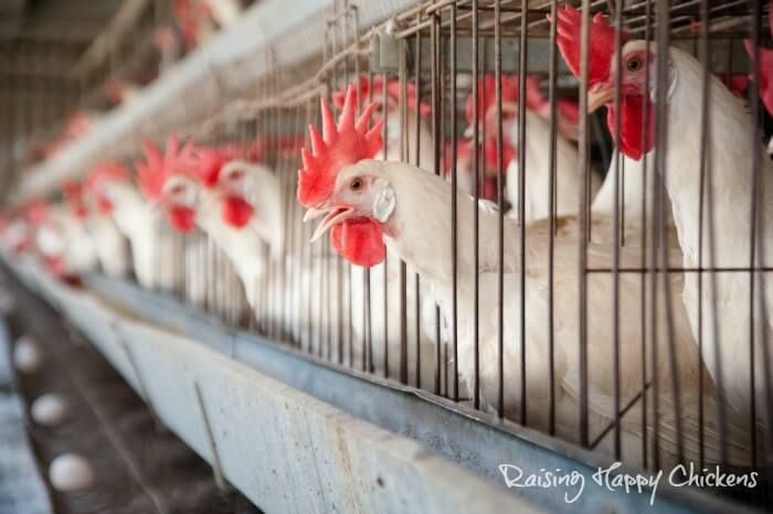 Leghorn chickens in battery cages