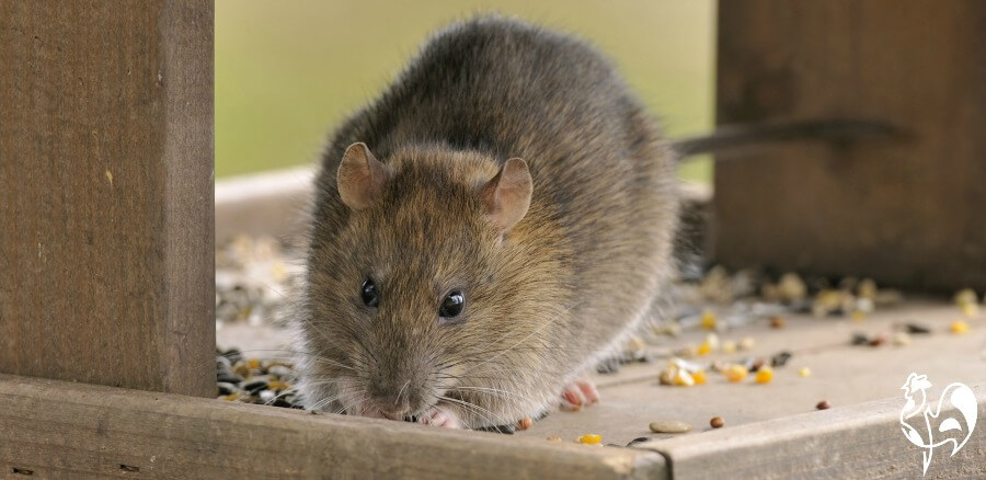 A common rat eating food from a bird table