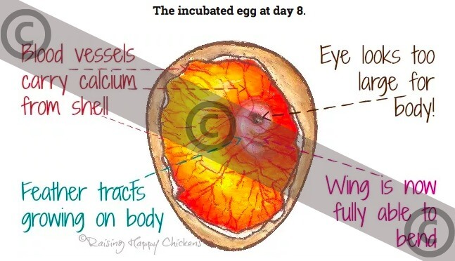 The incubated egg at day 8 - copyrighted version.