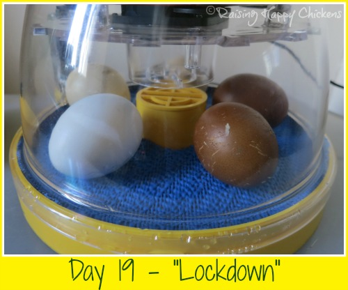 Hatching day 19 : the eggs are left in the incubator until the chicks are hatched