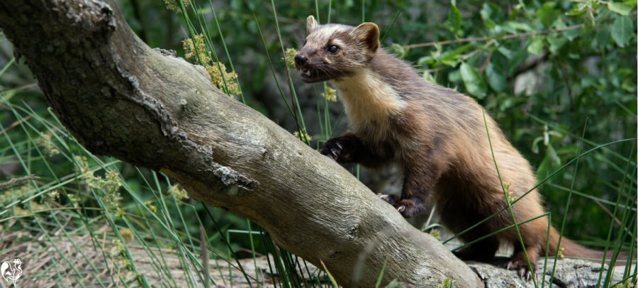 European pine marten on tree
