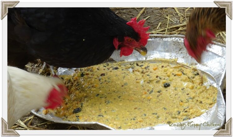 Three chickens eating fermented food
