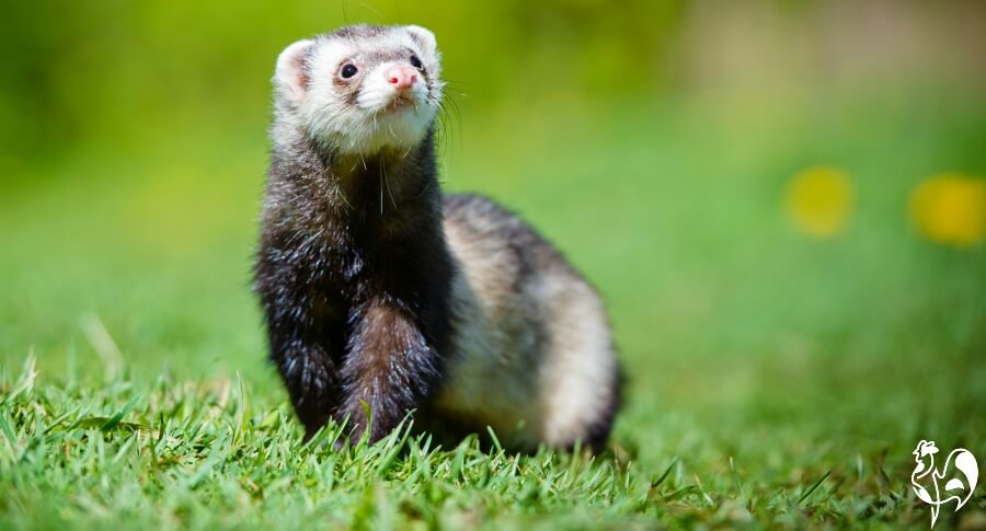 Ferrets - cute, but their unrine will not deter rats!