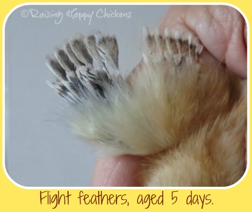 Development of wing feathers in a 5 day old chick.