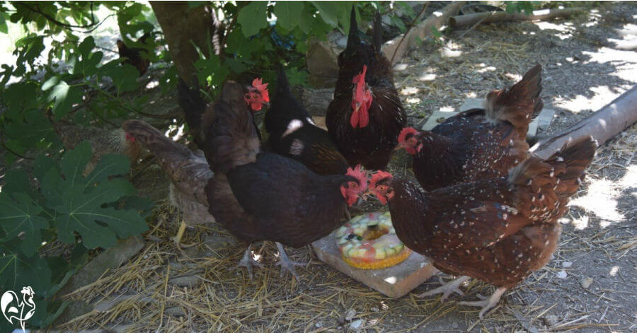 My chickens love their frozen salad treats, especially in the steaming hot days of summer.