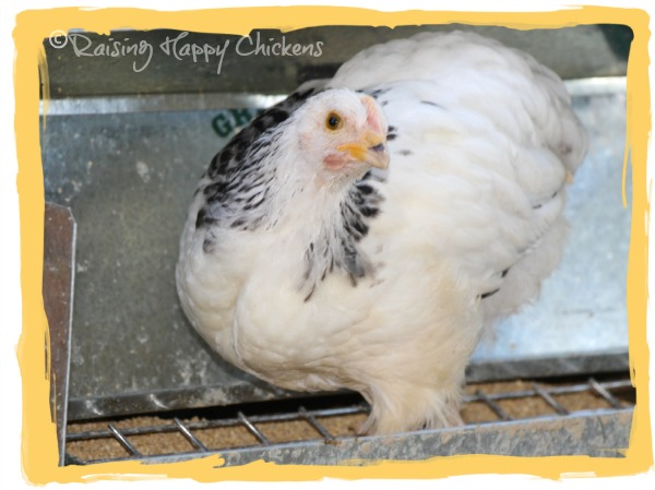 A Light Sussex chick at 9 weeks old