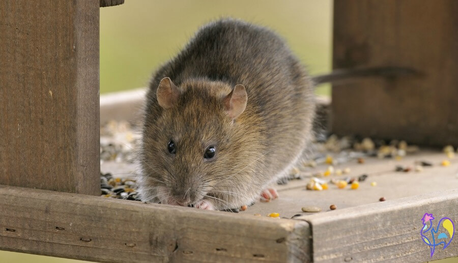 Rats, mice and wild birds all share a fondness for eating grain.