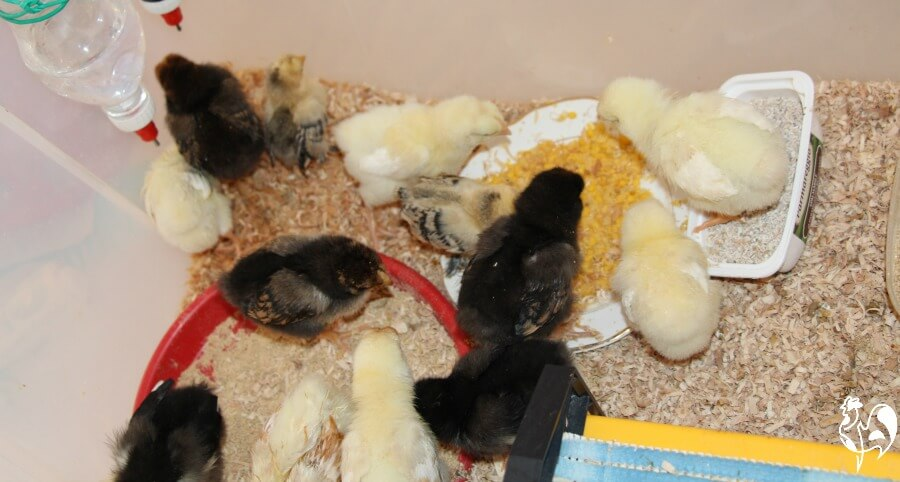 Baby chicks in the brooder eating sweetcorn.