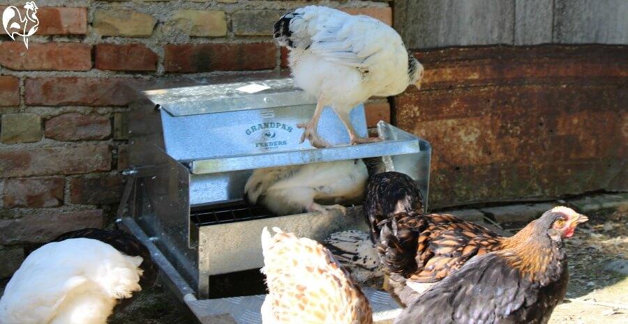 My automatic chicken feeder at work.