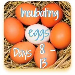 Hatching chicken eggs - an overview of days 8 to 13.