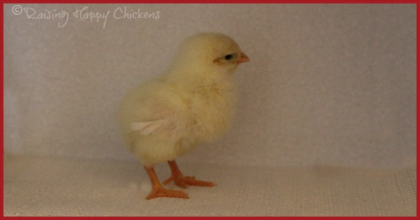 A Light Sussex chick who hatched at 25 days.