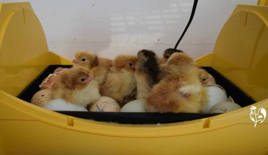 Newly hatched chicks.