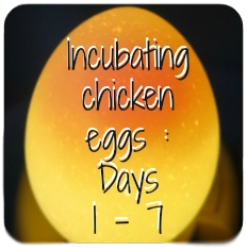What happens to the chicken egg during days 1 - 7 of incubation?