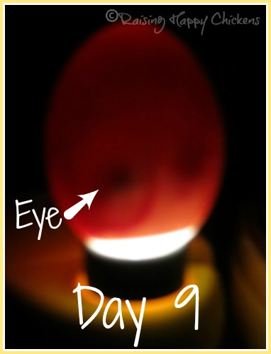 Egg candling at day 9 : the eye is very clear