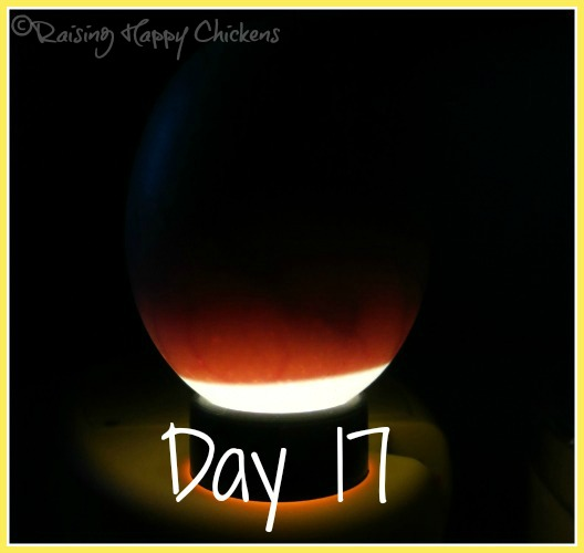 Hatching eggs : day 17