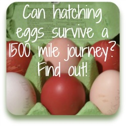 Link to our story of six fertile eggs and a 1500 mile journey