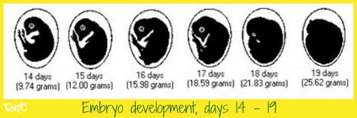 Chicken embryo development days 14 to 19