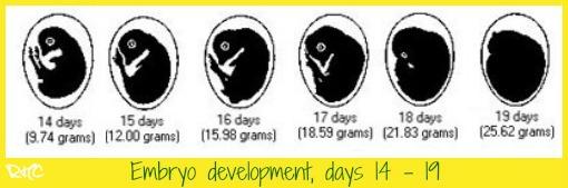 Chicken embryo development days 14 to 19