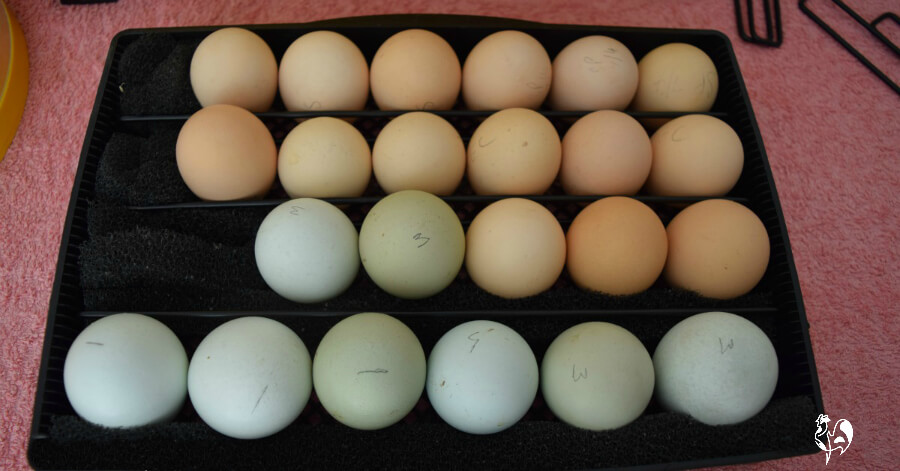 Chicken eggs in the Brinsea Octagon 20 Advance incubator.