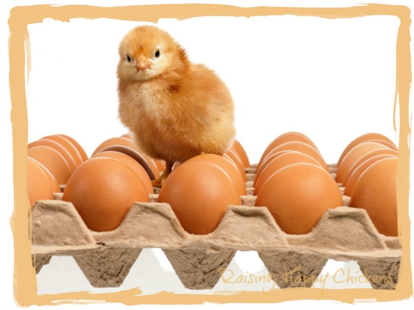 Chick on eggs - make sure the cartons are well packed.