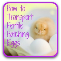 How to prepare, transport and store fertile chicken eggs - link.