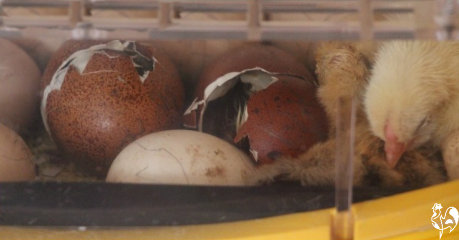 Three chicks hatching in an incubator.