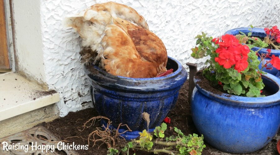 Chicken in a plantpot having dug out all the healthy flower treats!