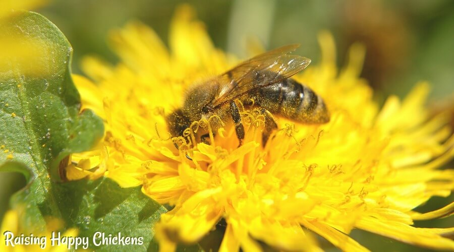 Dandelion with bee - they are a great source of pollen as well as a good treat for chickens.