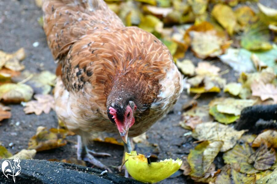 My chickens love to forage for fruit in the autumn when the fruit is on the ground - the wormier, the better!