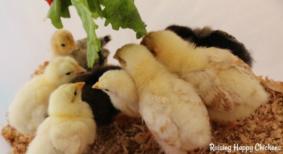 Chicks love healthy treats from a very young age!