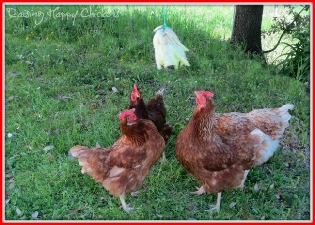 Chickens chasing a swinging lettuce - a healthy way to get their summer treat!