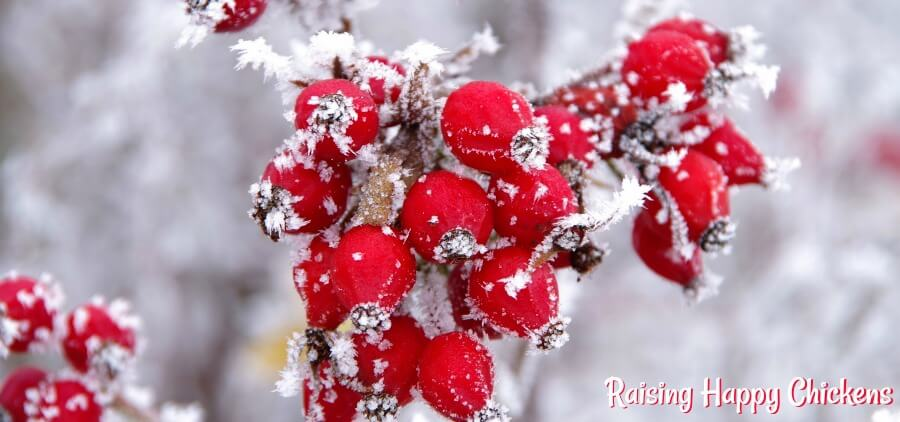 Rosehips - a good winter berry treat for chickens, full of vitamin 'C'. But what other treats are healthy for chickens, and when should they be fed? Find out here.