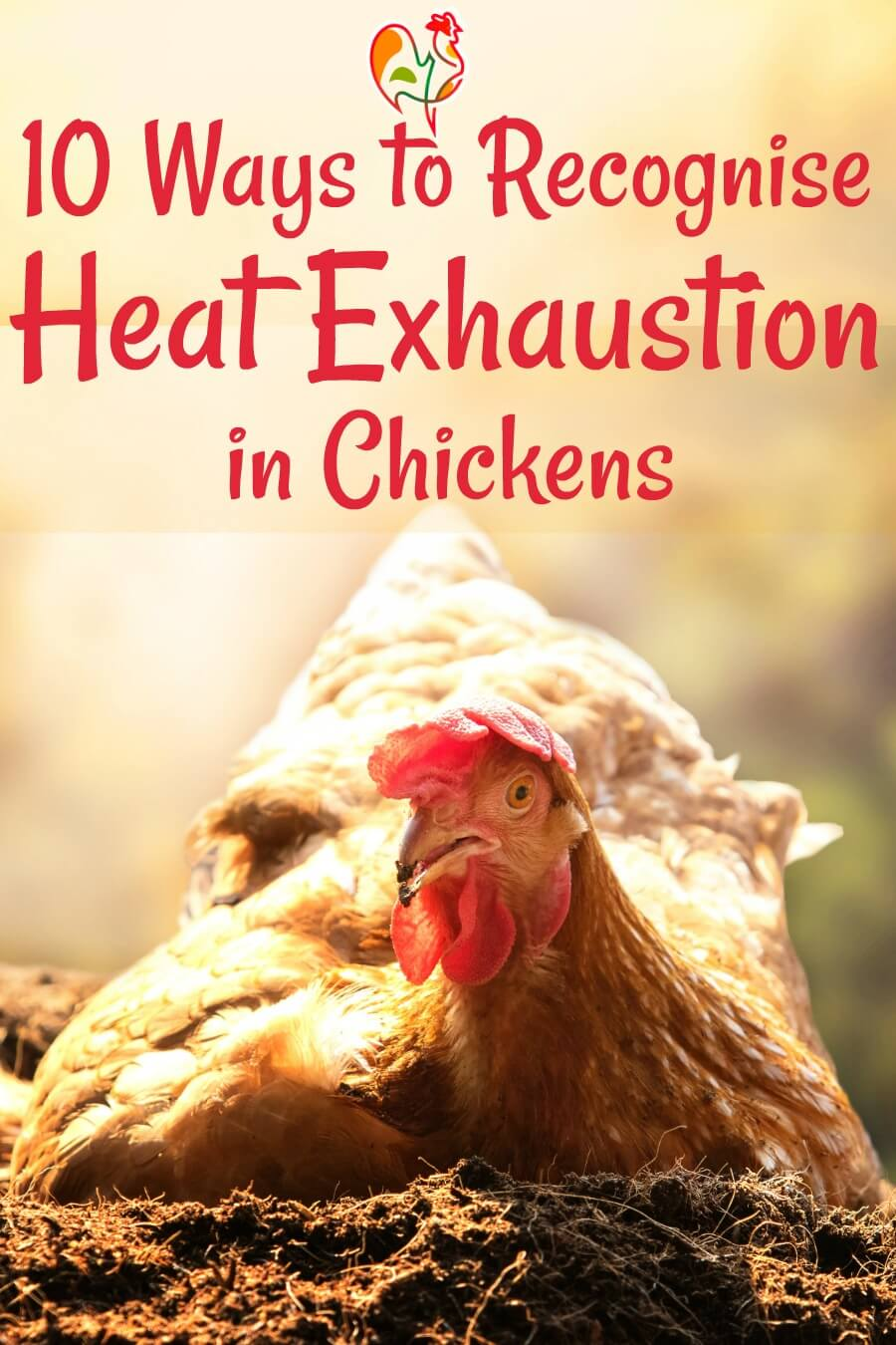 A chicken panting, in the first stages of heat exhaustion.