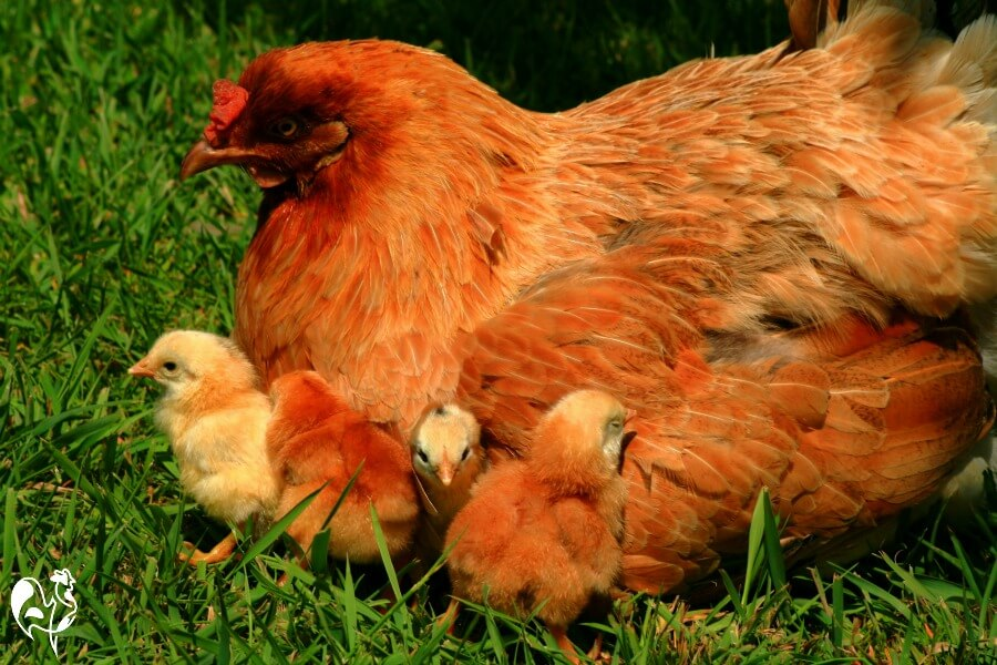 Without a rooster, this hen would not have been able to have these adorable chicks!
