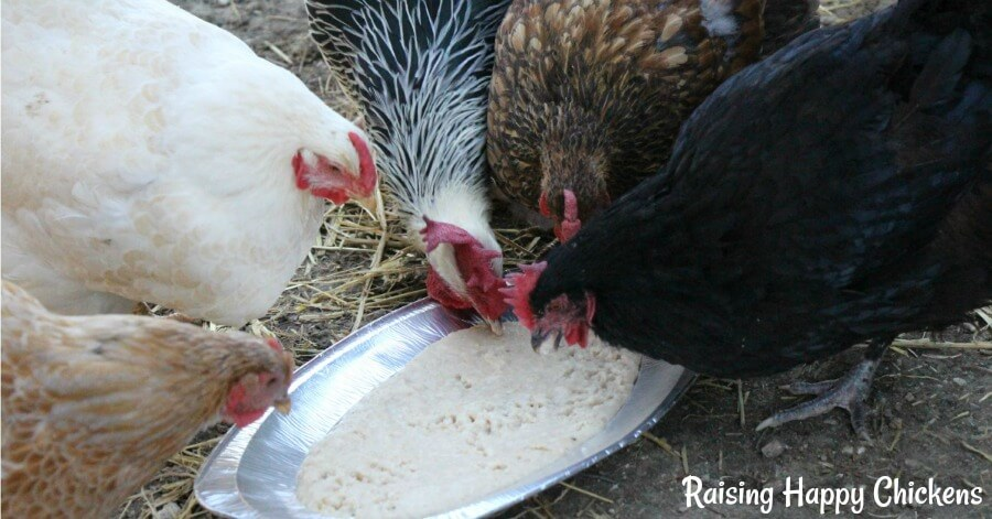 Oats made into warm porridge are a hit with chickens in the winter.