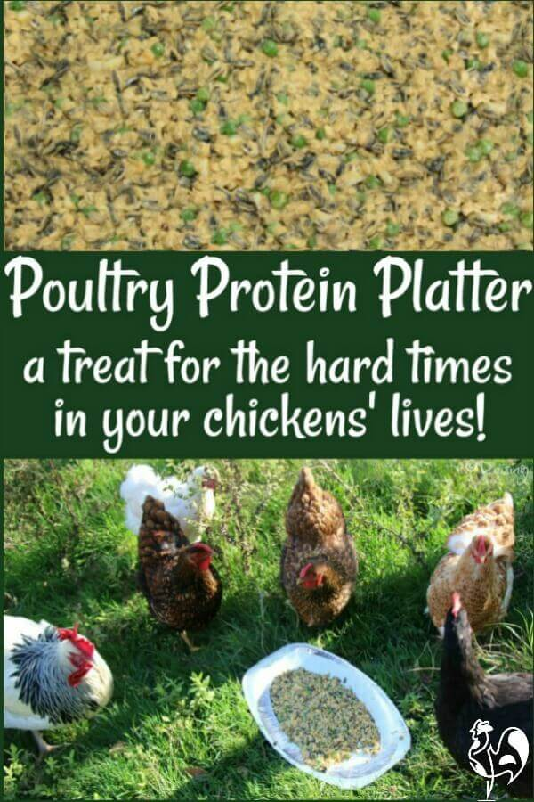 High protein foods can be good for your chickens when they need an extra boost. Here's a recipe they'll love: a Protein Poultry Platter!