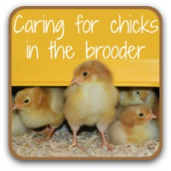How to care for baby chicks in the brooder - click for all you need to know.