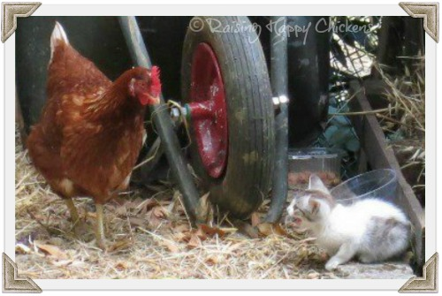 Feral kitten and chicken have a stand-off!
