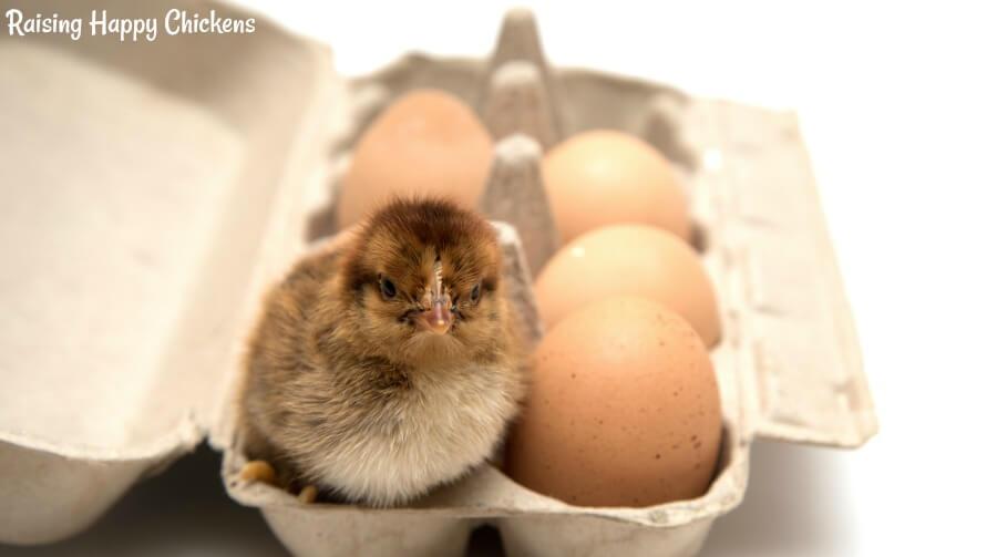 Transporting fertile chicken eggs. #backyardchickens #hatchingchickeneggs #incubation #fertilechickeneggs