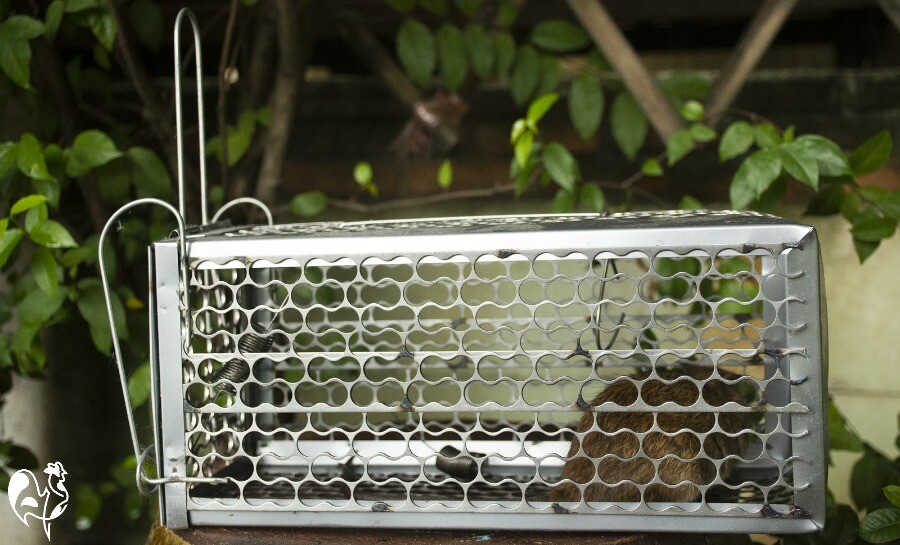 An example of a humane rat trap.